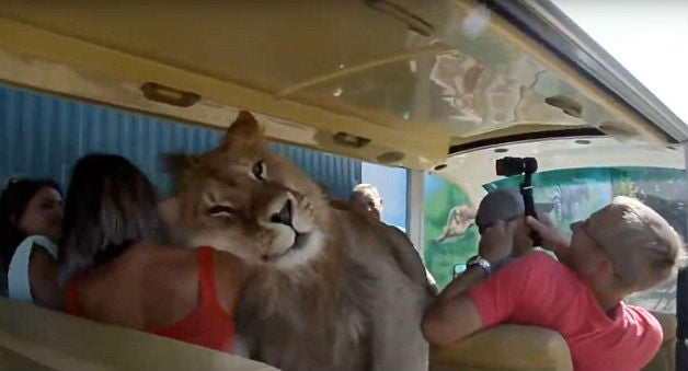 Lion climbs into safari vehicle full of people 2