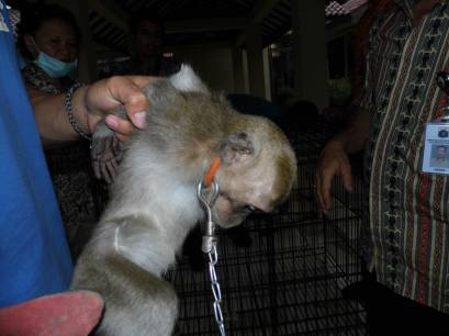 A young Macaque being Confiscated.