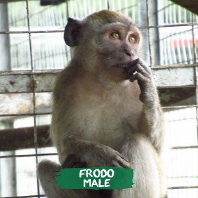 Im Frodo. I started being a dancing monkey from a very young age. I am so used to humans & a crowd, which is why its okay for humans to be close to me. But actually, that is something i have to cure, because humans & this habitat is not where i came from. Now that i am in the rehabilitation center, i have met some monkeys & am socializing again. Especially with the one who used to live next to me. We both have become friends, grooming each other, teasing each other & we are ready to be part of the bigger pack!