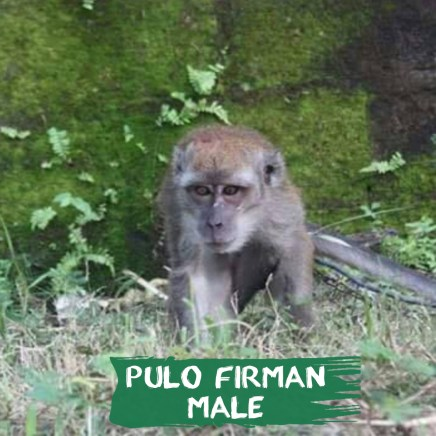 We only just recently removed the chain from Pulo Firman's neck. He is our latest rescue & will undergo quarantine, then will be rehabilitated. He was rescued from the Gili Trawangan Islands, Lombok were the local police actually took action & helped us by immediately confiscated him! He is a male, 5 years old & was rescued on 14th May 2017.