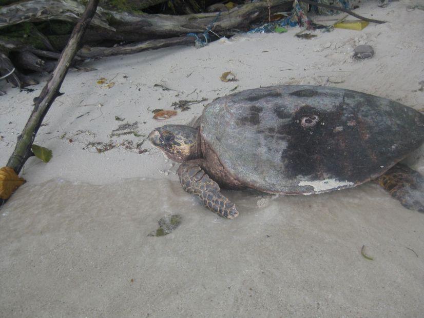 A fully grown Hawksbill Turtle.
