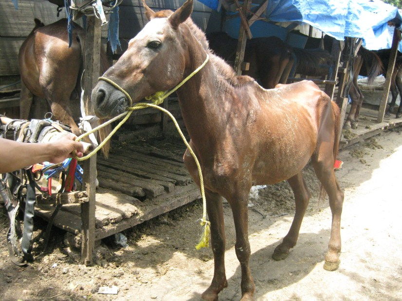 The average Indonesian horse used for carriages. Very skinny and unhealthy.