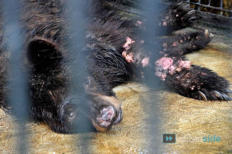 A bear with raw flesh exposed at Surabaya Zoo.