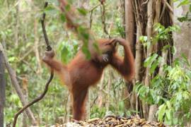 Sail Over Sekonyer River to See The Life of Orangutans in Tanjung Puting National Park