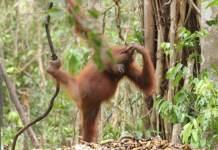An Orangutan in Tanjung Harapan Station