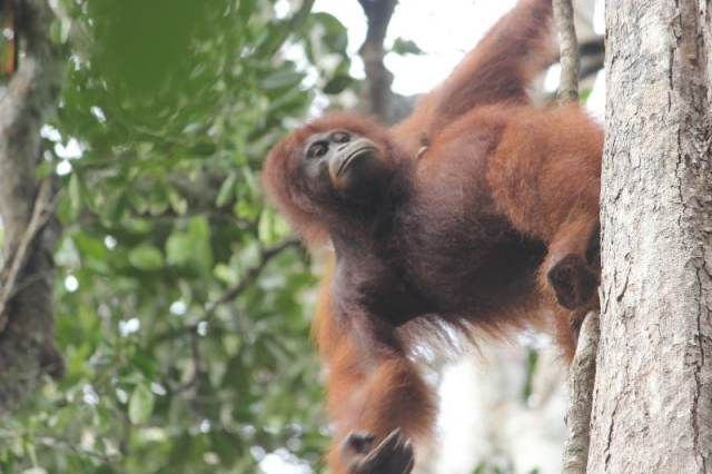 Mandy, a Pregnant Female in Tanjung Harapan