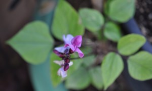 Lilac Bean Vine by Darrel Huish