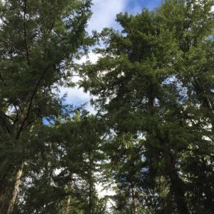 Backyard trees.