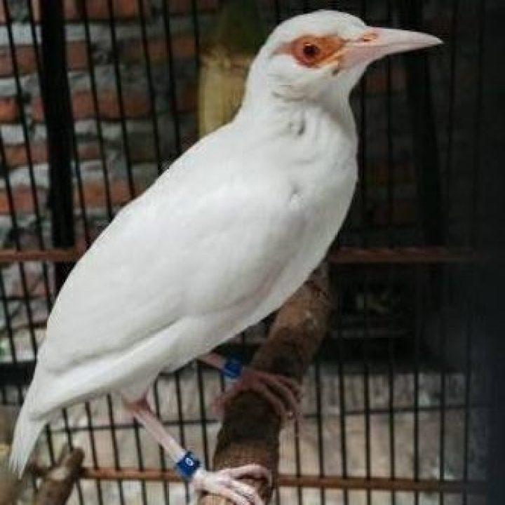 Burung Jalak Suren Albino