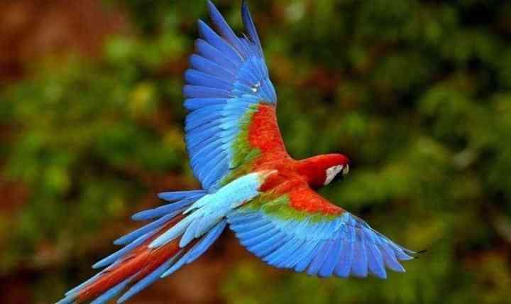 Burung Macaw