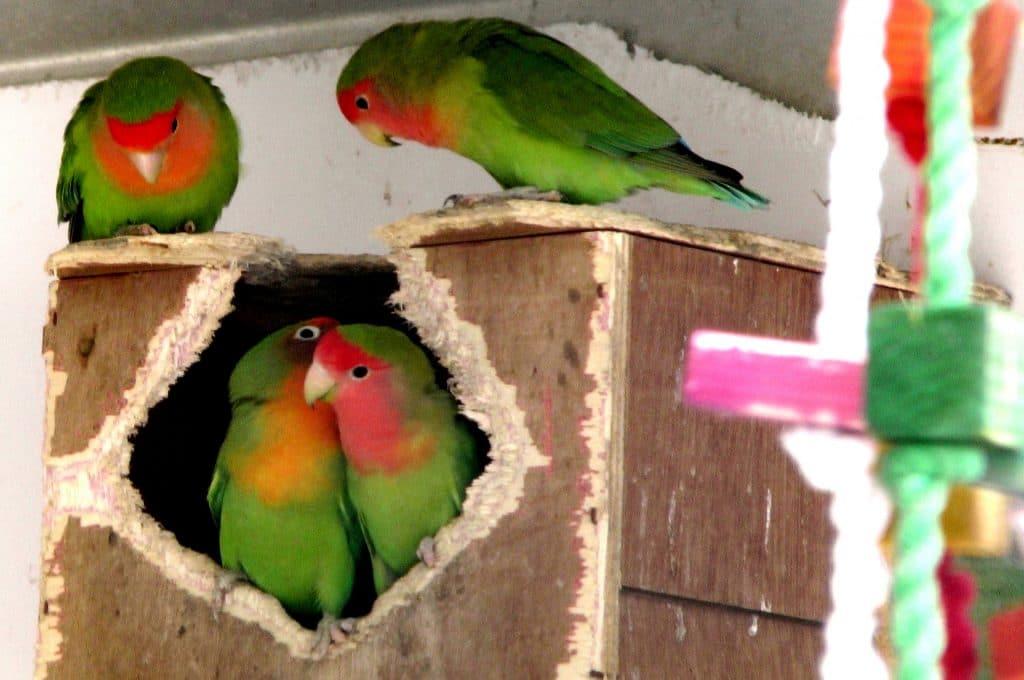 Lovebird Hidup dalam Lubang