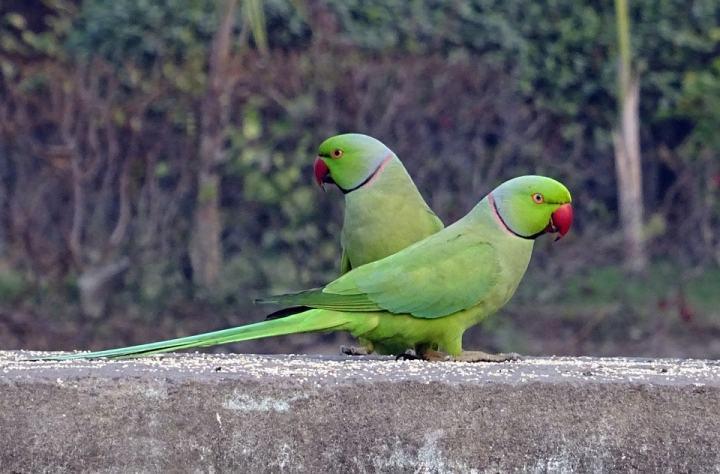 Lovebird Terancam Punah
