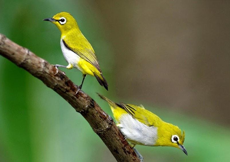 Tips Memilih Burung Pleci Jantan yang Berkualitas Juara b5b8652f7d