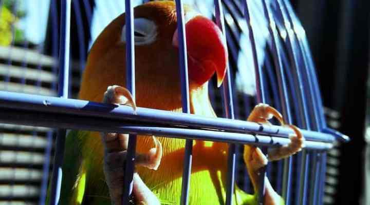 Bagaimana Merawat Burung Kicau Juara dengan Baik dan Benar?
