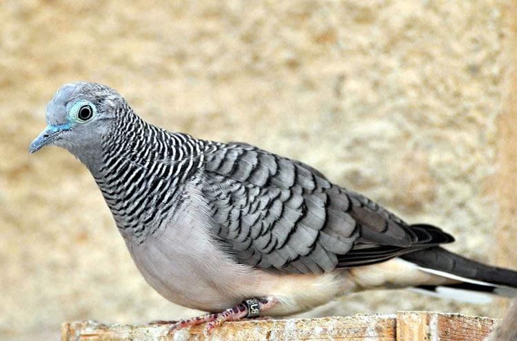 Tips Merawat Burung Perkutut