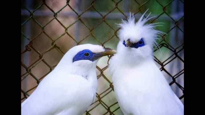 atau di kawasan aslinya di Pulau Bali dikenal sebagai Curik Bali Melirik si Eksotis Burung Jalak Bali