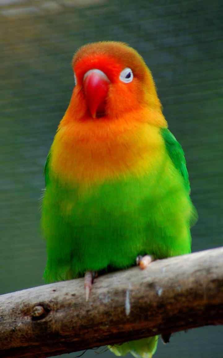 Para penggemar burung banyak yang beropini bahwa membedakan jenis kelamin Lovebird buka Membedakan Jenis Kelamin Lovebird dengan Tes DNA Sexing