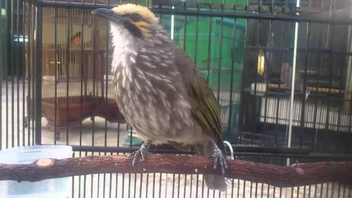 Voer merupakan pakan yang wajib diberikan demi kelangsungan hidup burung peliharaan termas Cermat Memilih Voer Bagi Cucak Rowo Kesayangan