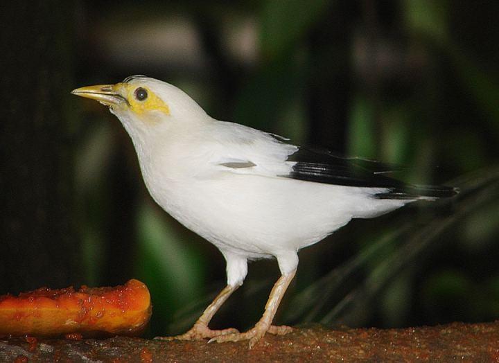 Perbedaan Ciri Ciri Burung Jalak Putih Jantan Dan Betina