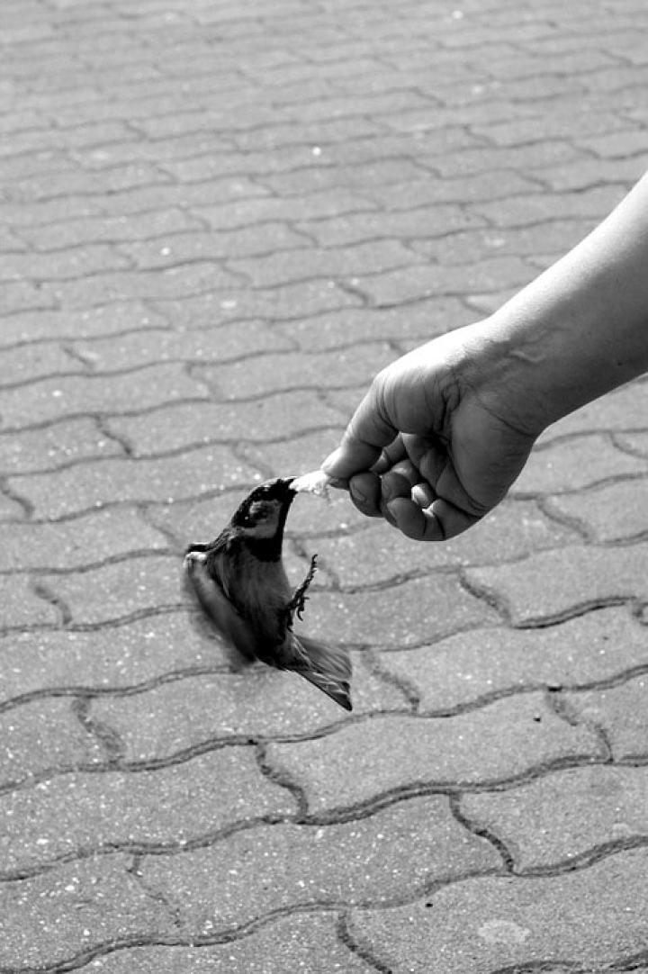 Salah satu burung yang ramai dicari dan dibicarakan orang yaitu poksay hongkong Anda Punya Burung Poksay Hongkong yang Terlalu Liar? Jinakkan dengan Terapi Lapar