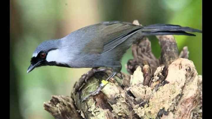 banyak dicari orang sebab kicaunya yang merdu Ketahui Penyebab Burung Poksay Hongkong yang Susah Bunyi