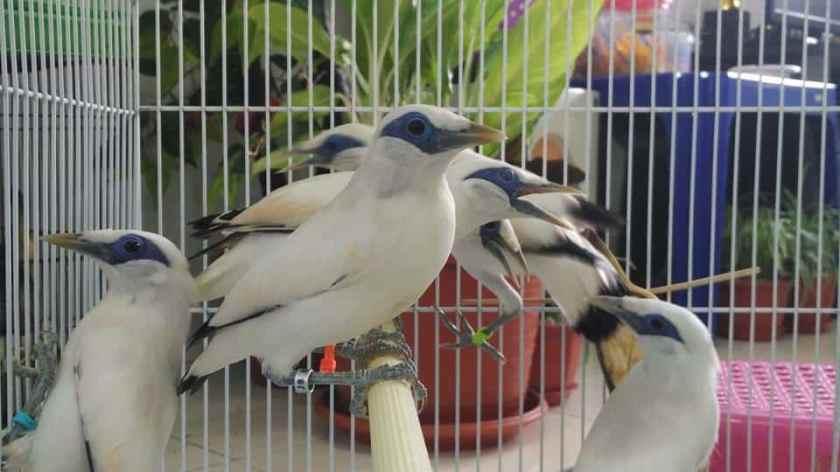 Burung Jalak Bali Anakan