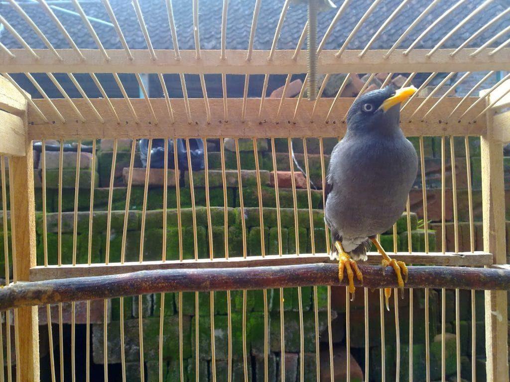 Saat ini jenis burung jalak sangatlah banyak Membedakan Jenis Burung Jalak Kerbau Betina dan Jantan