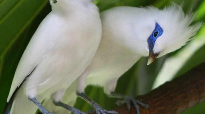 Cara Merawat dan Melatih Burung Jalak Bali agar Cepat Gacor