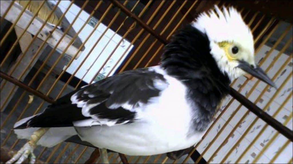 Burung black collared starling atau yang lebih sering disebut dengan  Cara Merawat Burung Jalak Hongkong Agar Semakin Gacor