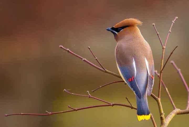 Burung berkicau bisa kehilangan bunyi tanpa ada alasannya yang terperinci Cara Mengembalikan Suara Burung Berkicau yang Hilang Secara Alami