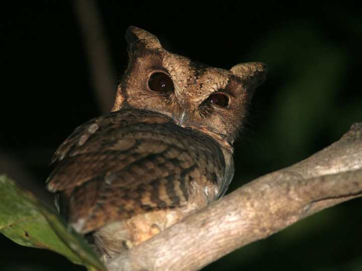 Celepuk Merah (Reddish Scops Owl)