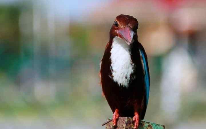 Mangsa Burung Raja Udang