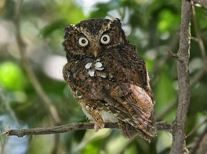 Celepuk Gunung (Javan Scops Owl)