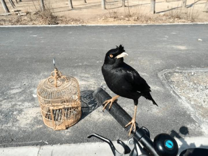 Burung Jalak Kebo Mata Kuning