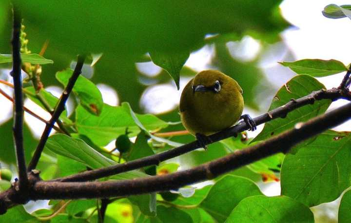 Burung pleci yang cendekia berkicau sanggup dijual dengan harga yang tinggi Inilah Cara Merawat Burung Pleci Agar Cepat Gacor