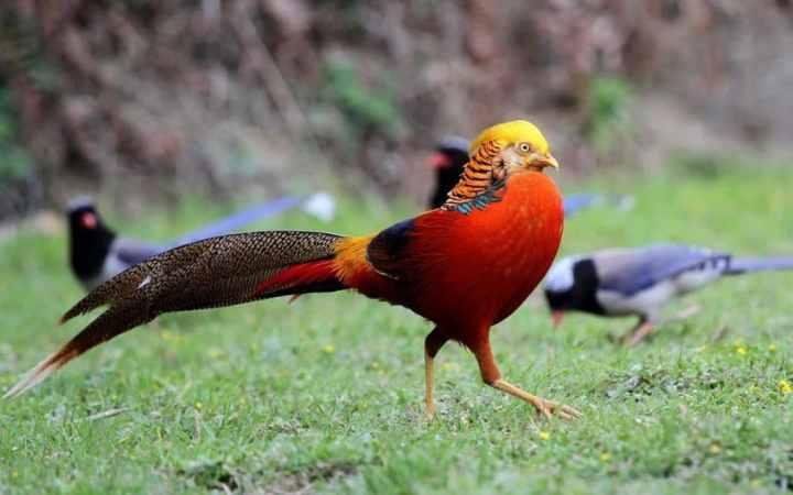 Golden Pheasent