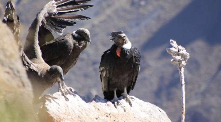 Burung Raksasa Dari Pegunungan Andes