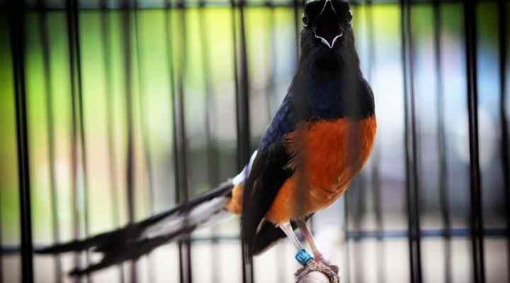 Inilah 5 Fakta Tentang Burung Murai Batu yang Harus Diketahui Para Pecinta Burung!