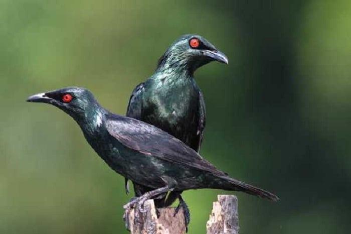 Burung Cucak Keling
