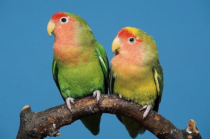 Lovebird Balibu