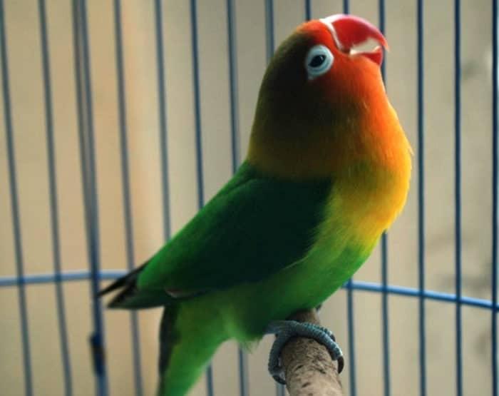 Unduh 520+  Gambar Burung Lovebird Konslet HD  Gratis