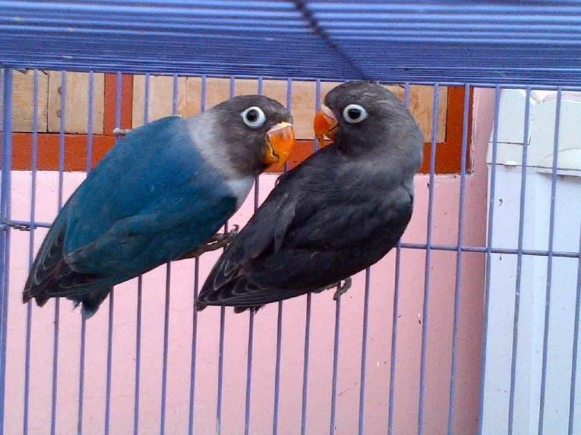 Cara Mencetak Lovebird Biru Mangsi Paling Mudah