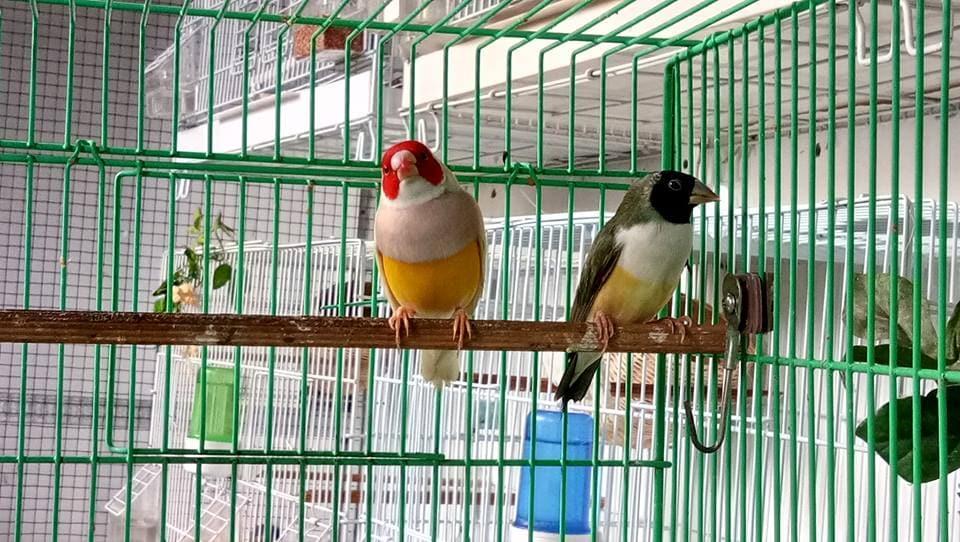 Finch jantan punggung kuning dan betina punggung hijau.