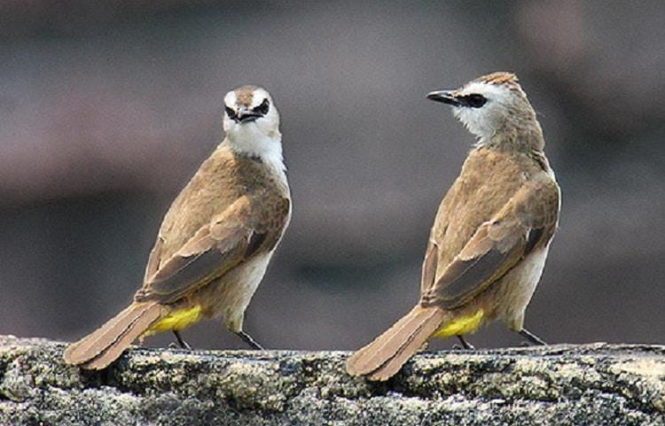 Ketahui Racikan Manfaat Jahe Untuk Burung Lovebird