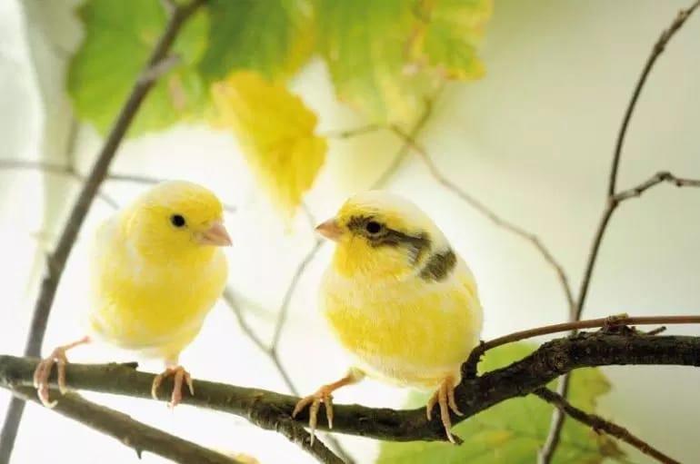 Cara Ternak Burung Kenari Af yang Baik dan Benar