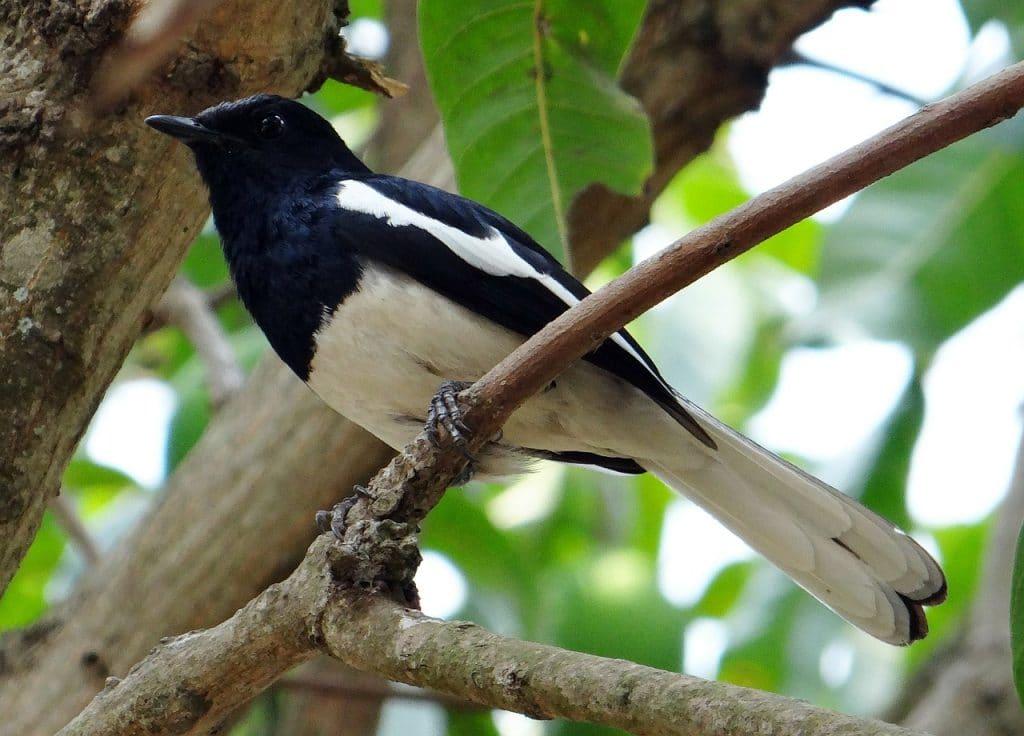 Burung Kacer - pixabay.com / Bishnu Sarangi