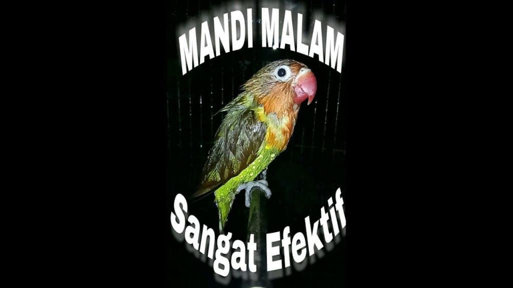 Mandi Malam - youtube.com / LOVEBIRD mania