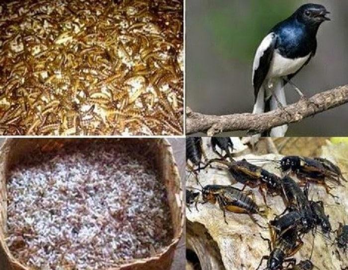 Racikan Pakan Burung Kacer Biar Gacor dan Ngeplong