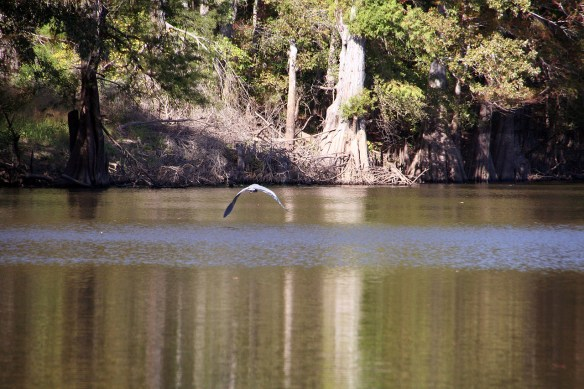 A Blue Heron saw us coming... and took flight.