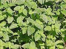 Photo of Mint
